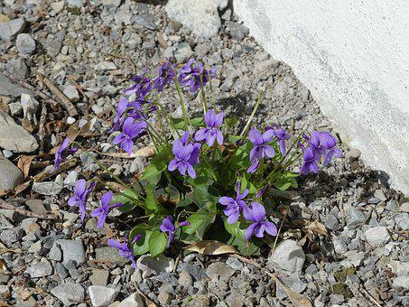 Violet, Flowers, Bloom, Live, Grow, Pebble