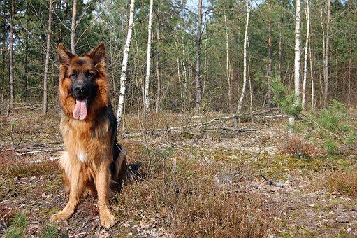 Dog, Spring, Forest, Spacer, German Shepherd