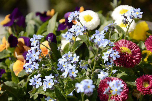 Flowers, Bellis, Forget Me Not, Pansy, Spring, Floral