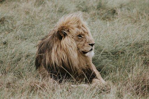 Lion, Nala, Lion King, Simba, Jafar, Mane, Lions Mane