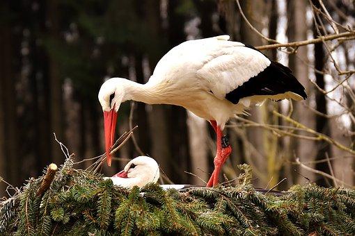 Storks, Pair, Solicitous, Nest Building, Birds, Nest