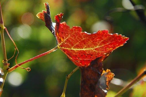 Leaf, Vine, Sun, Transparency, Red, Green, Vineyard