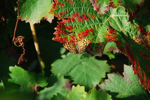 Leaf, Vine, Butterfly, Fall, Vineyard, Autumn Leaves