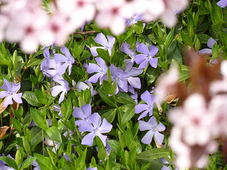 Viola, Purple Flower, Nature, Violet Plant, Blossom