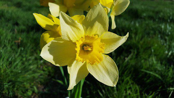 Narcissus, Daffodil, Narcissus Flower, Yellow Daffodils