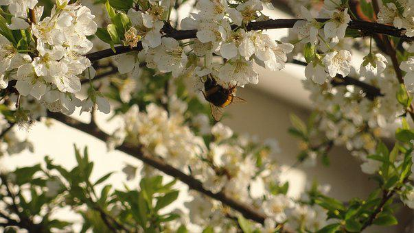Plum, Bee, Flower, Flowers, Nature, Pollination, Tree