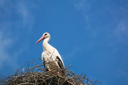 Stork, Storchennest, Bird, Animal, Nature, Sky, Blue