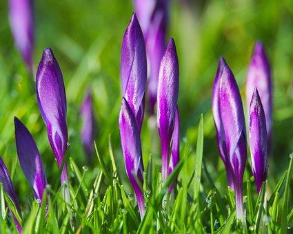 Spring, Crocus, Flowers, Purple, Blossom, Bloom