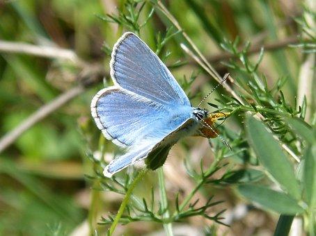 Butterfly, Blue Butterfly, Blaveta Of The Farigola