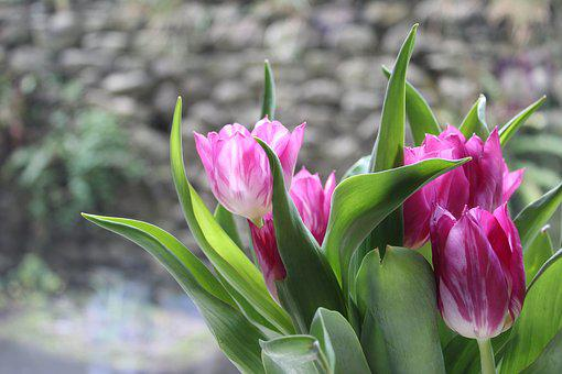Tulips, Flowers, Pink, Purple, Spring, Bulbs, Nature