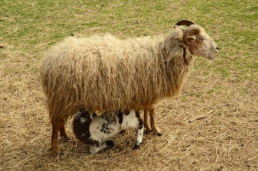 Lamb, Sheep, Suckle, Feed, Mother Child, Nature, Spring