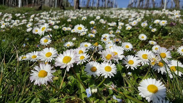 Daisy, Meadow, Close, Spring, Flowers, Flower Meadow