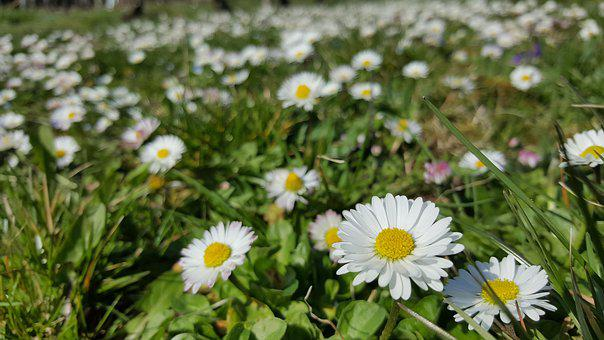 Daisy, White, In The Grass, Plant, Flower, Garden