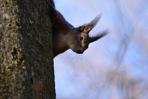 Squirrel, Salzburg, Kapuzinerberg