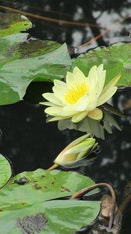 Lotus, Pool, Sichuan University