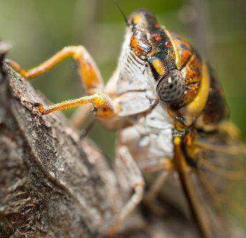 Cicada, Tree, Insect, Nature, Wildlife, Bark, Bug