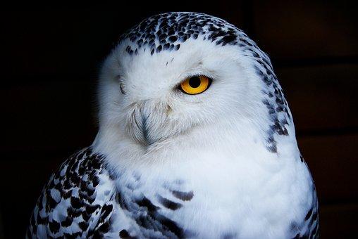 Owl, Snowy Owl, Animal, Bird Of Prey, Bird, Beak, Eye