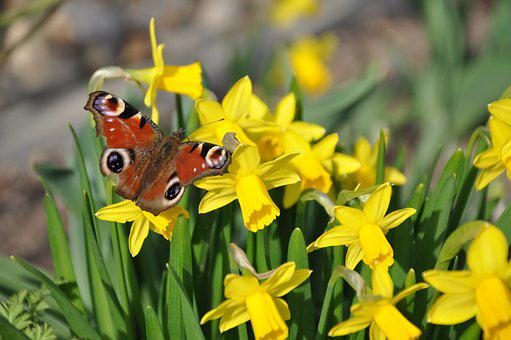 Spring, Butterfly, Narcissus, Peacock Butterfly