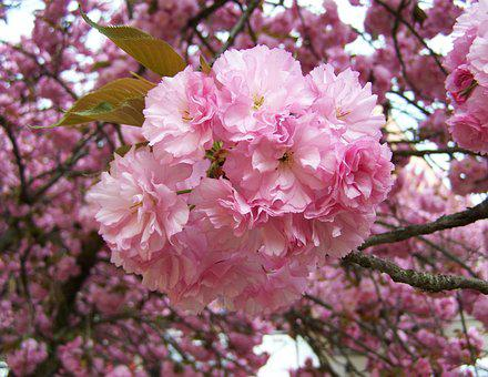 Japanese Ornamental Cherry, Pink Inflorescences, Spring