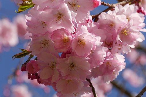 Cherry Blossom, Nature, Tree, Blossom, Bloom, Spring