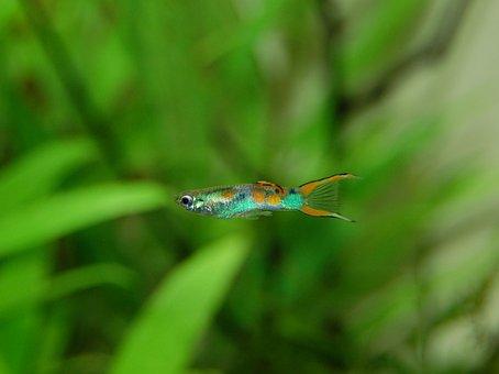 Guppy, Fish, Aquarium, Water, Underwater World