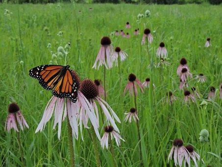 Butterfly, Monarch, Field, Prairie, Wildflowers, Meadow