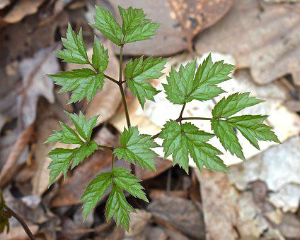 Black Cohosh, New Leaves, Plant, Spring, Medicinal