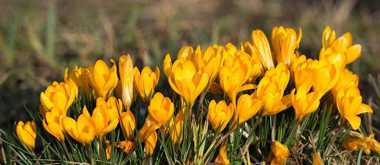 Crocus, Flowers, Yellow, Spring Flower, Spring, Close