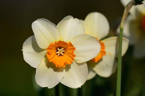 Daffodils, Narcissus, Daffodil, Spring, Flower, Flowers