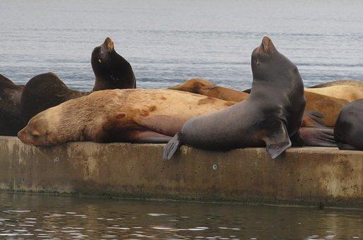 Sea Lion, Marine Life, Ocean, Animal, Marine Mammal