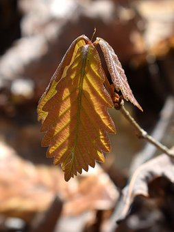 Oak Seedling, New Leaves, Oak Tree, Tree, Seedling