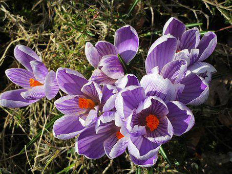 Crocus, Spring, Purple, Zwiebelpflanze, Spring Flower