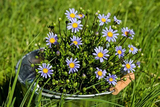 Daisies, Flowers, Bloom, Purple, Spring Flowers