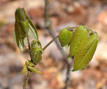 Sumac, Tree, New Leaves, Plant, Spring, New Growth
