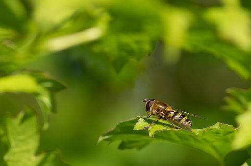 Syrphid Belted, Browser, Spring, Diptera