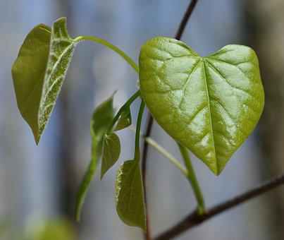 Redbud Leaves, Heart-shaped, Heart, New Leaves, Tree
