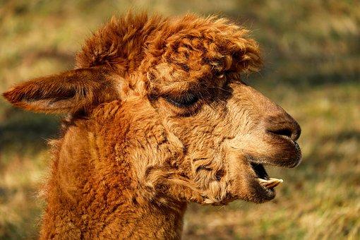 Alpaca, Animal, Creature, Fur, Red Brown, Wool, Fluffy