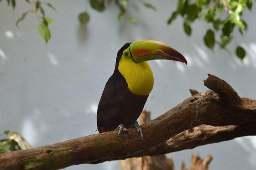 Toucan, Bird, Tropical, Nature, Animal, Wildlife