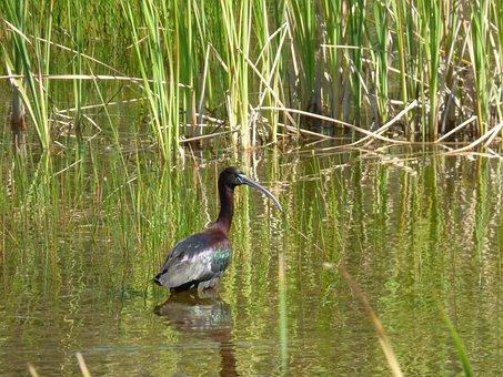 Glossy Ibis, Bird, Aquatic, Water, Animal, Fauna