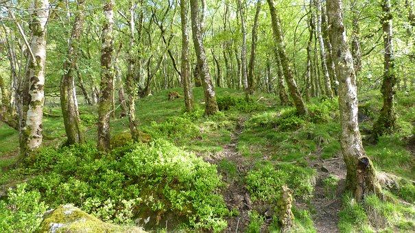 Forest, Ireland, Birch