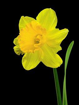 Flower, Plant, Nature, Narcissus, Osterglocken, Blossom