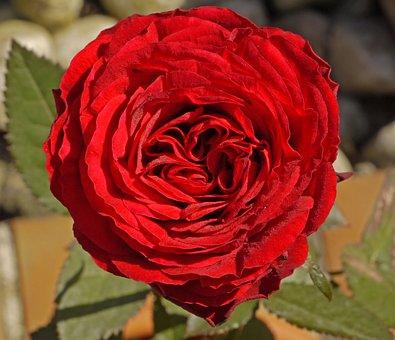 Rose, Filled, Triple, Blossom, Bloom, Rose Bloom, Close