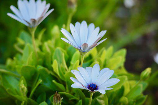 Daisies, Flowers, Nature, Garden, White Daisies, Colors