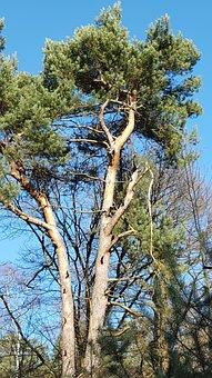 Pine, Tree, Forest, Conifer, Landscape, Nature