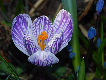 Crocus, Spring Flower, Early Bloomer, Spring