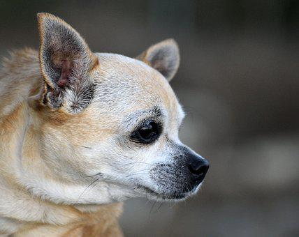Chihuahua, Puppy, Dog, Animal, Pet, Cute, Canine, Small