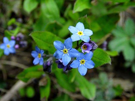 Forget Me Not, Blue Forget Me Not, Bloom, Flower Garden