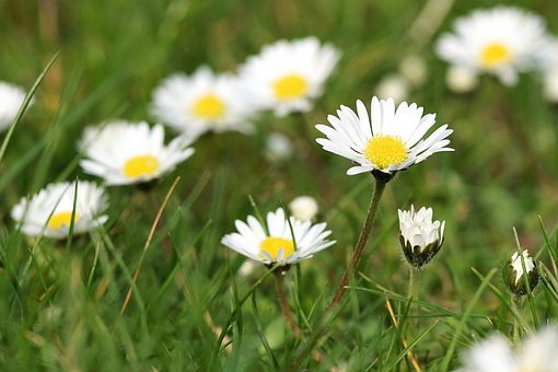 Daisy, Meadow, Flower, Blossom, Bloom, Flower Meadow