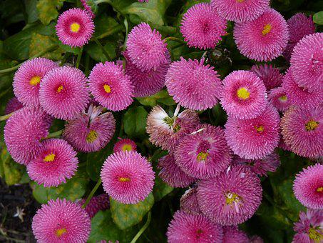 Flower, Nature, Daisies, Garden, Flowers, Pink Flower