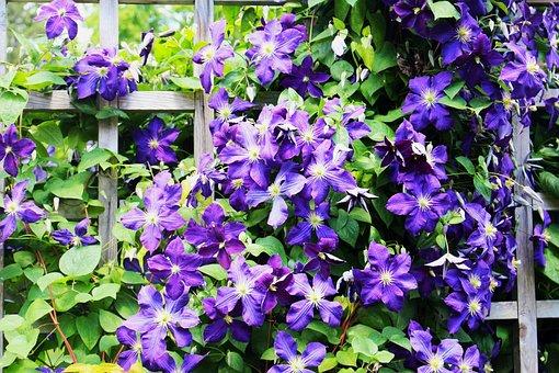 Flowers, Clematis, Plant A Garden, Violet Flowers